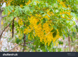 Kerala Ayurvedic uses of Indian Laburnum